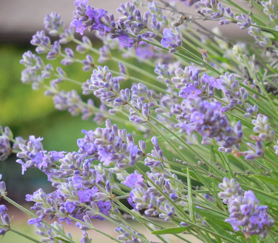 image of lavender herbs